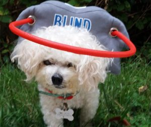 Muffin S Halo Blind Dogs Guide For Blind Dogs Help