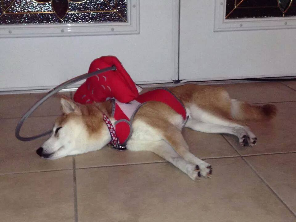 Blind dog sleeping in halo harness