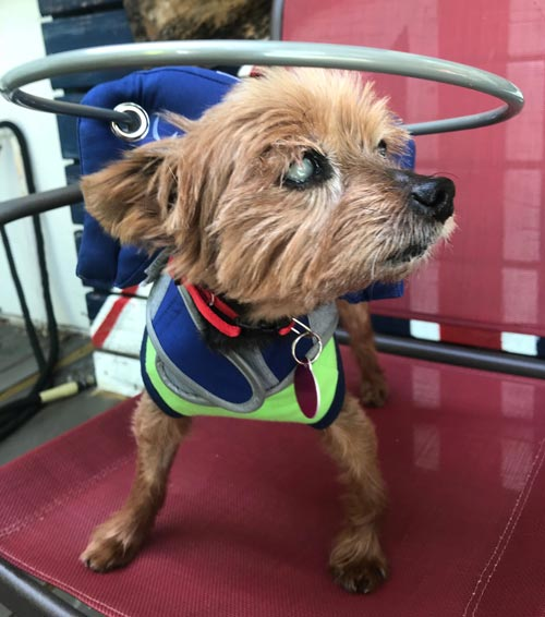 Blind small dog wears blue muffin's halo harness while running on red chair