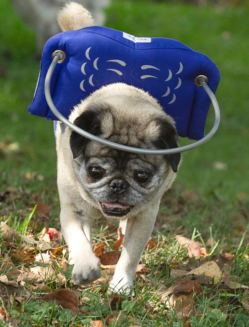 Blind small dog wears blue muffin's halo harness while running on grass