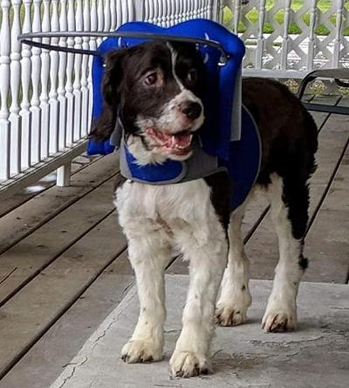 Blind small dog wears blue muffin's halo harness while on deck