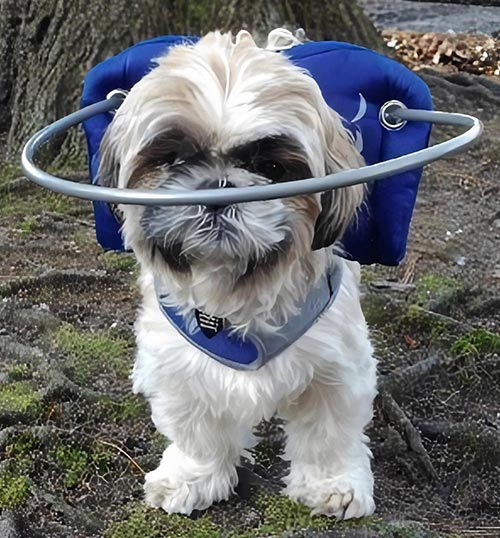 vision impaired dog wears a muffins halo while outside