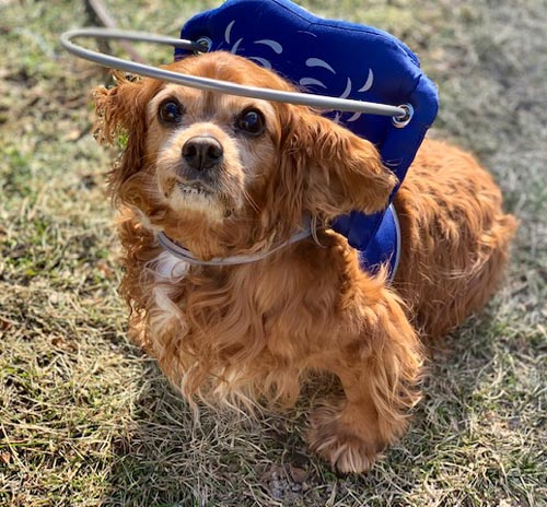 Blind small dog wears white muffin's halo harness while outside