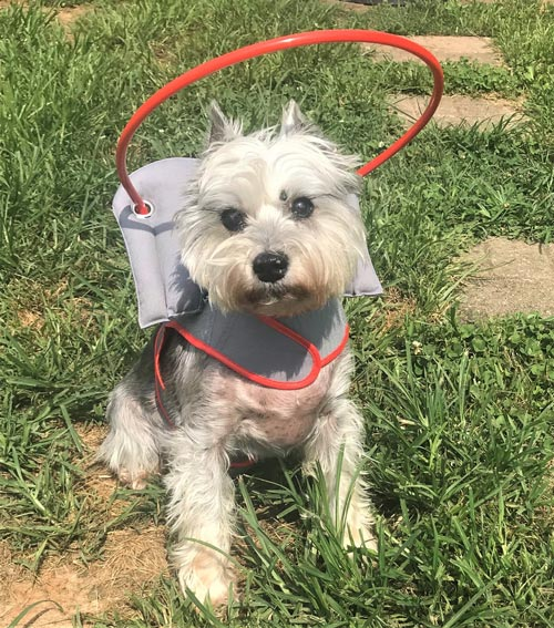 Blind dog wears gray muffin's halo harness while on grass