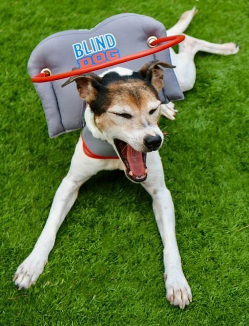 Blind dog wears gray muffin's halo harness while yawning on grass