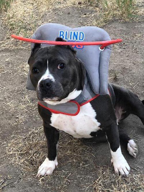 Blind pitbull wears gray muffin's halo harness while on dirt