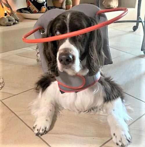 Blind dog wears gray muffin's halo harness while on floor