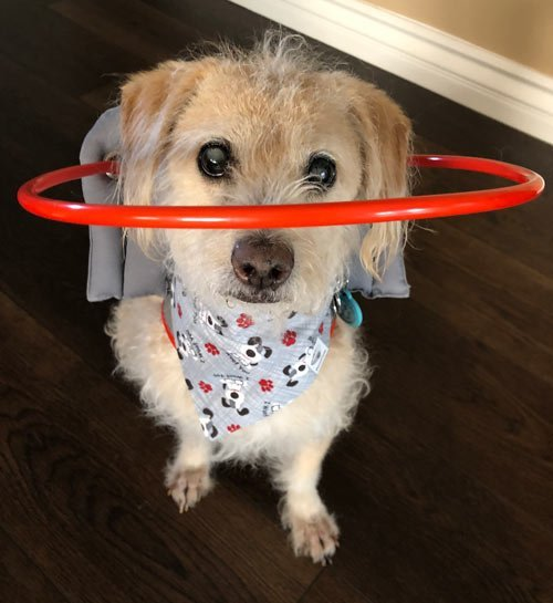 Blind dog with scarf wears gray muffin's halo harness while on floor