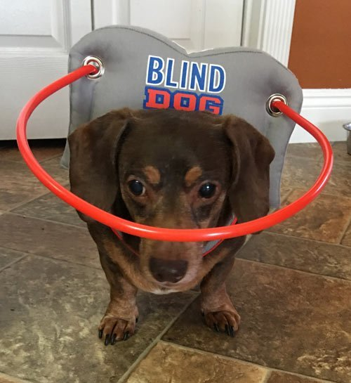 Blind dog wears gray muffin's halo harness while in house