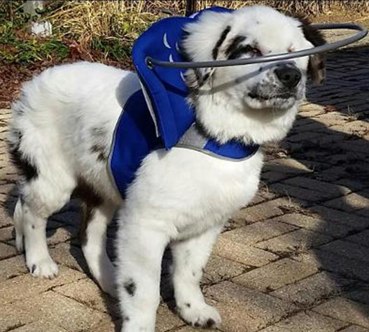 Blind spotted dog wears blue muffin's halo harness