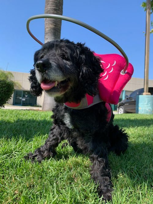 Old blind dog wears pink muffin's halo harness while on grass