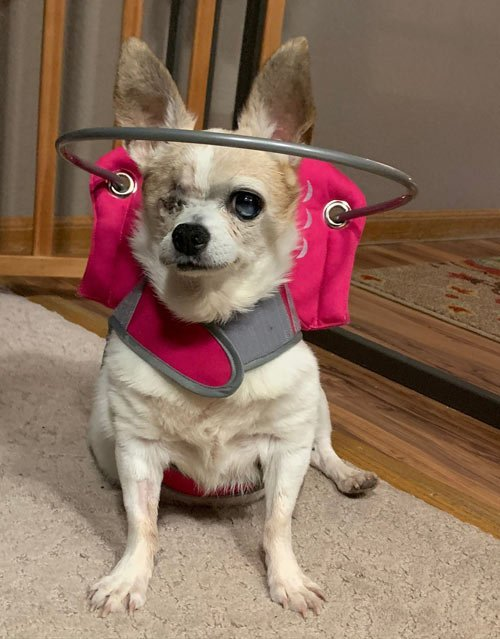 Small blind dog wears pink muffin's halo harness while in room