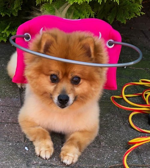 cute blind dog wears pink muffin's halo harness while on sidewalk