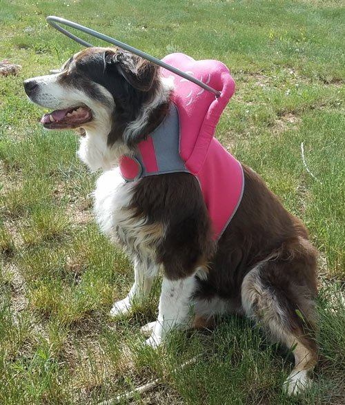 Blind dog wears pink muffin's halo harness while on grass