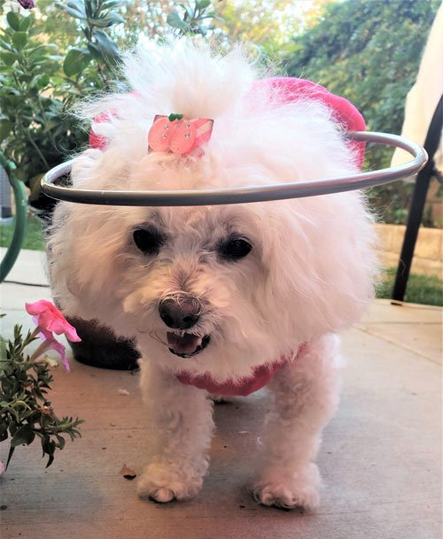 Adorable blind dog wears muffin's halo harness