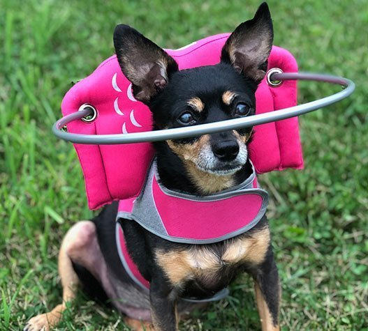 Blind dog wears pink muffin's halo harness while on green grass