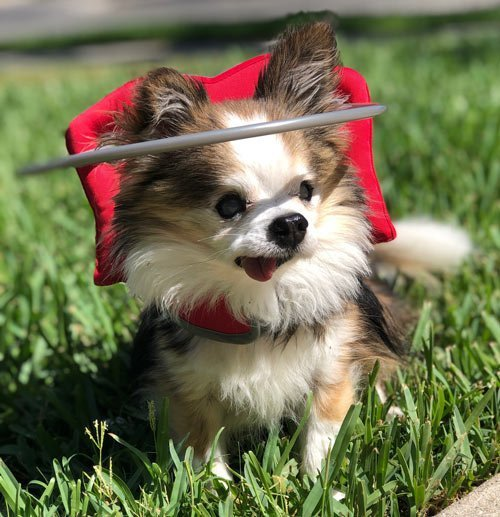 Blind chihuahua on grass with his red Muffins Halo harness