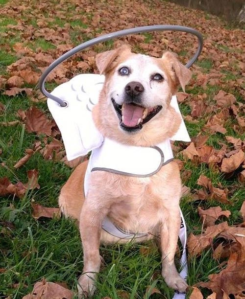 Blind dog wears white muffin's halo harness while on leaves