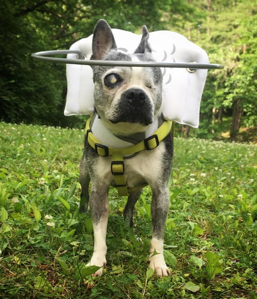 Blind dog wears white muffin's halo harness while on grass