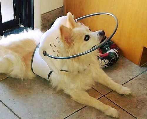 Blind dog wears white muffin's halo harness while in kitchen