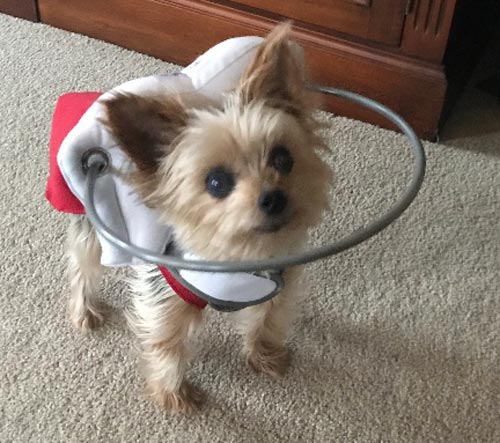 Blind small dog wears gray muffin's halo harness while in room