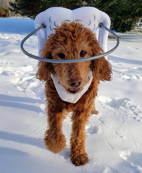 Blind dog wears gray muffin's halo harness while in snow