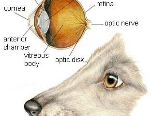 Dogs with Glaucoma