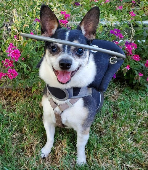 Blind dog wears muffins halo harness as she smiles at camera