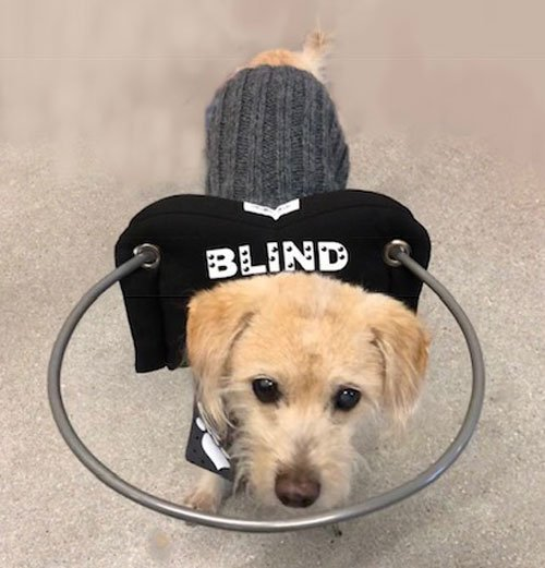 Diabetic Blind Dog Guido walking with his Muffin's Halo that prevents him from bumping into things