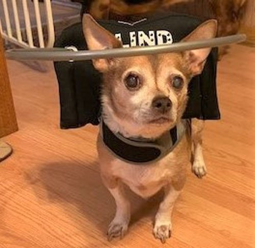 Blind chihuahua wears black muffin's halo harness