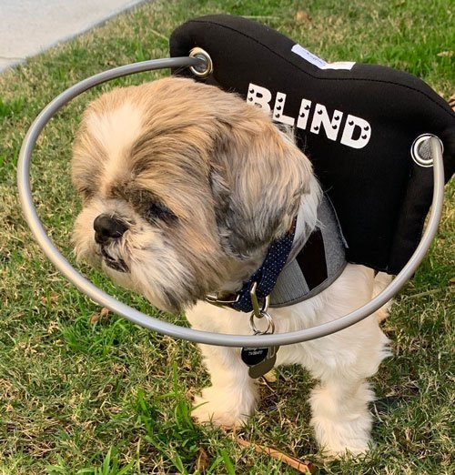 Blind dog wears black muffin's halo harness on green grass