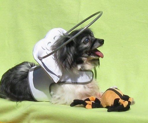 Blind chihuahua wearing small white Muffin's Halo