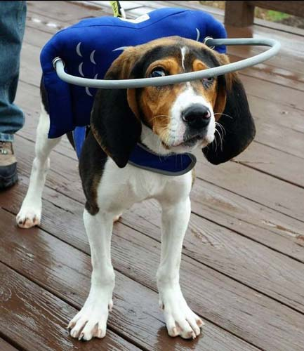 Blind beagle wears blue Muffin's halo support while on patio