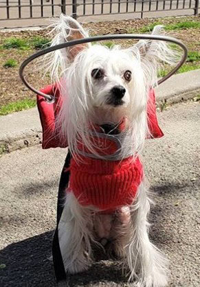 Blind chihuahua wearing red Muffin's Halo harness
