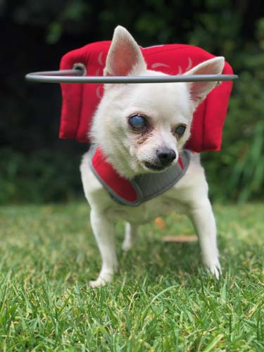 Blind Chihuahua LaLa posing in her Red Muffin's Halo Angel Wing