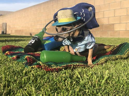 Blind chihuahua wearing Muffin's Halo apparatus on grass