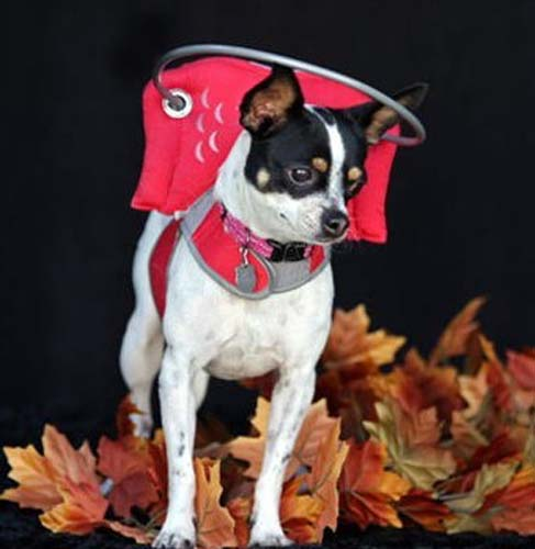 Blind chihuahua wearing red Muffin's Halo bumper collar
