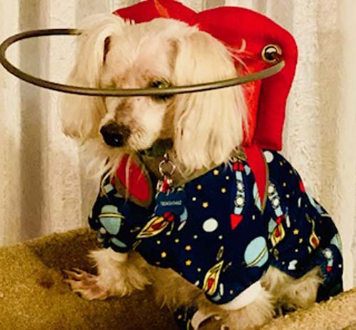 Blind Poodle in pajamas wearing a red Muffin's Halo