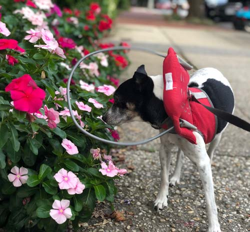 Blind chihuahua smells flowers while wearing Muffin's Halo device