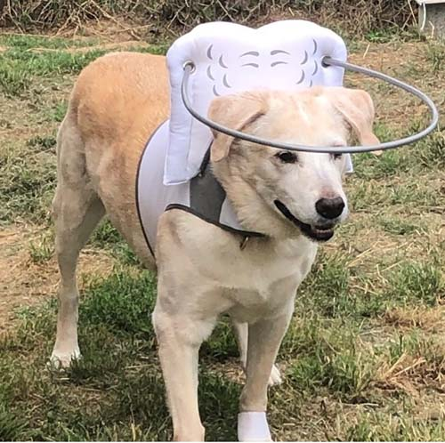 Blind Labrador wearing Muffin's Halo for big dogs