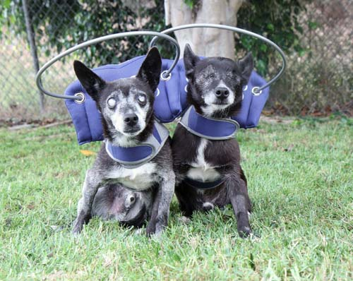 Two Blind Chihuahua wearing blue Muffin's Halo while on grass