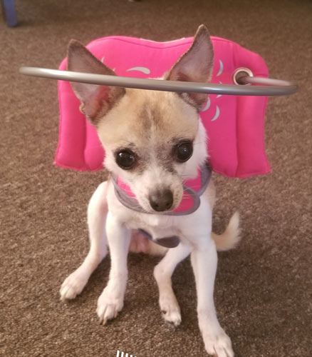 Blind Chihuahua wearing pink Muffin's Halo harness on carpet (Help for blind dogs)