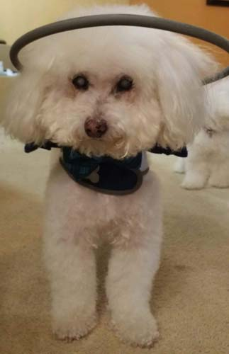 Blind poodle wears Muffin's Halo head protection on carpet