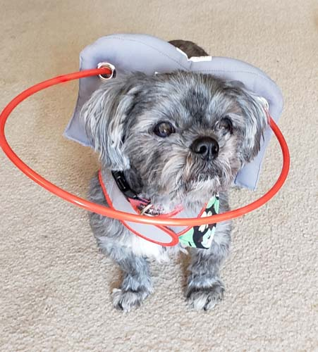 Blind Shih Tzu wears gray Muffin's Halo as aid to walk