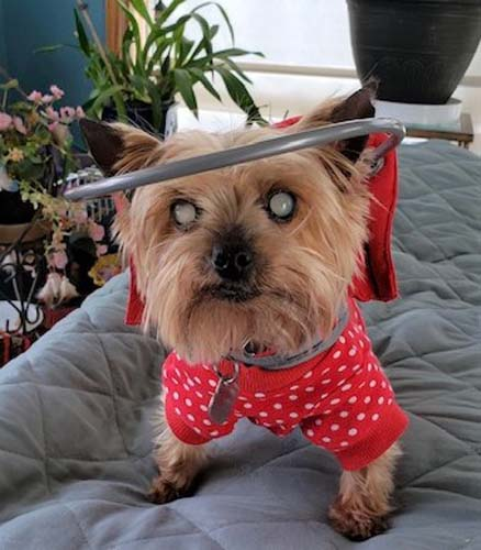 Blind Yorkie wears red Muffin's Halo bumper collar on bed