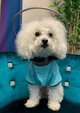 Blind Maltipoo wears a muffins halo harness while in blue shirt