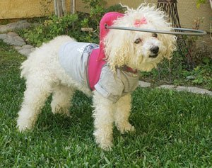 Blind diabetic poodle stands on grass while wearing muffins halo