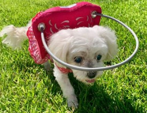 What to Do When Your Dog Goes Blind