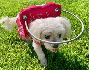Blind Maltese Chloe Love in a red muffins halo harness