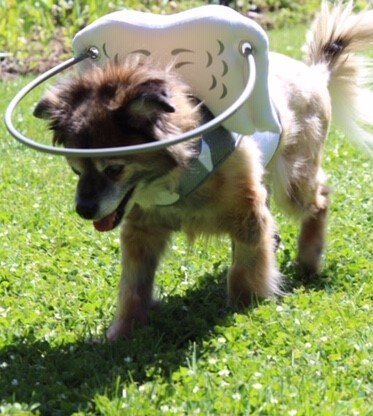 Blind Dog With Diabetes Outside wearing Muffins Halo